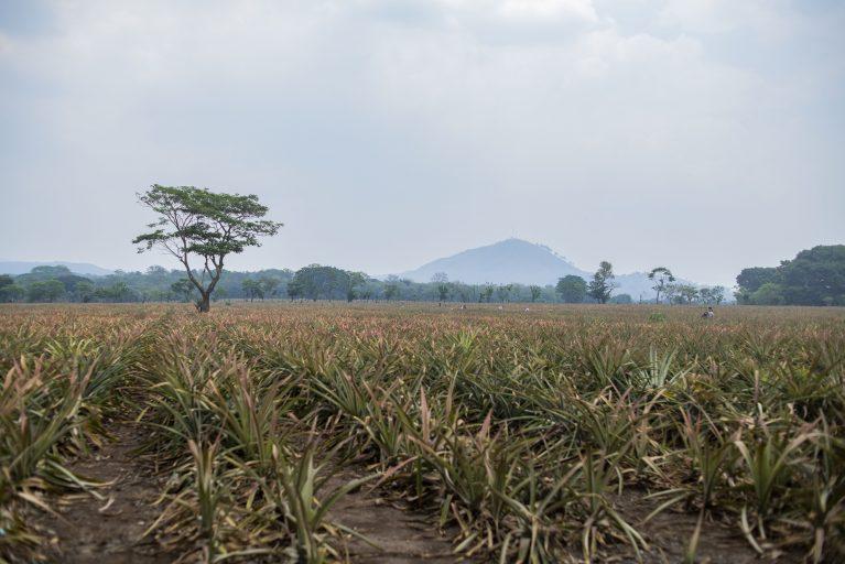 Sembradío  de  piña  en  una  comunidad  guatemalteca.El  economista  Jonathan Menkospronostica que la pérdida de empleos en ese país puede llegar a 555 mil empleos. Foto\Julio Serrano Echevarría
